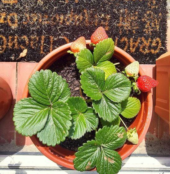 Puedes tener una planta de fresa y crear tu huerto en casa