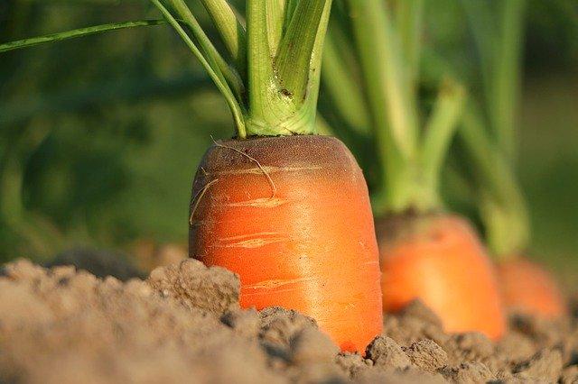 zanahoria para tu huerto en casa