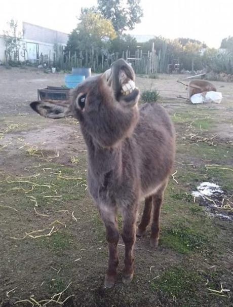 burrolandia apadrina burro peligro extinción