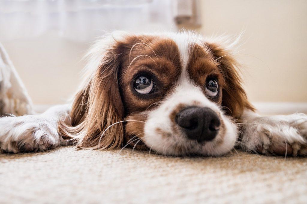 adopta animal compañía perro