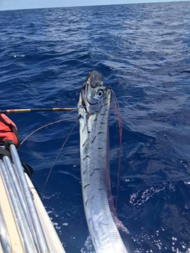 Hace poco unos pescadores encontraron un pez remo entre sus redes, esto fue en las playas de Cozumel, Quintana Roo.