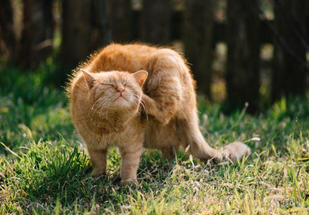 Remedios caseros para quitar pulgas de los gatos