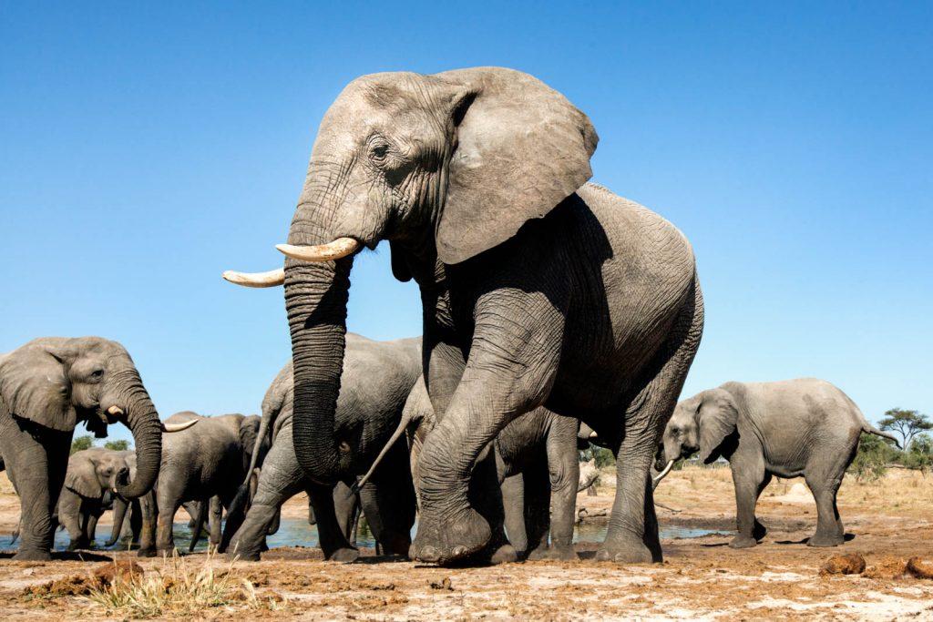 Mueren elefantes de manera misteriosa en Botsuana, África