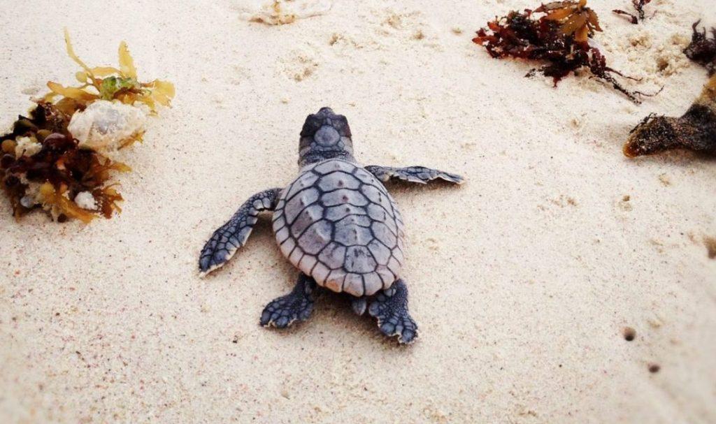 ¡Buenas noticias! Cozumel registra la mayor cantidad de nidos de tortugas en años