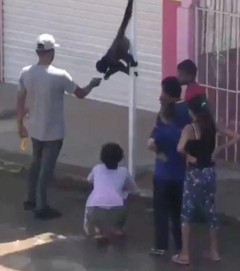 Monos sueltos sorprenden a los habitantes de Tonalá en Jalisco