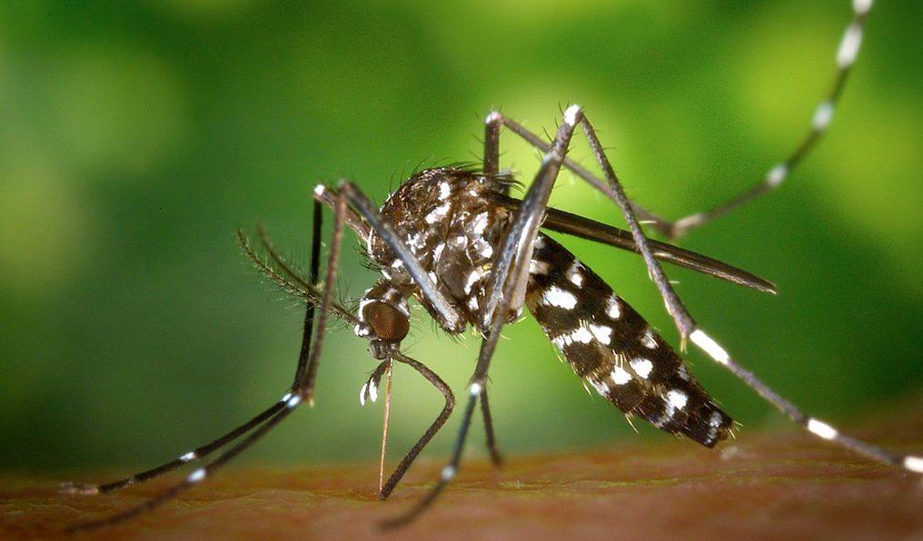 mosquitos modificados genéticamente serán liberados