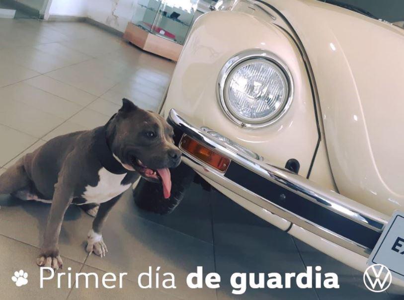 Conoce a Vochita, la perrita adoptada por una agencia automovilística