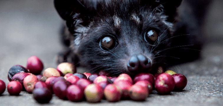 Café de Civeta: el café más caro del mundo que esconde un oscuro secreto