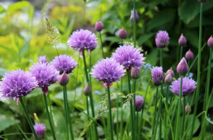 Flores comestibles para tus platillos