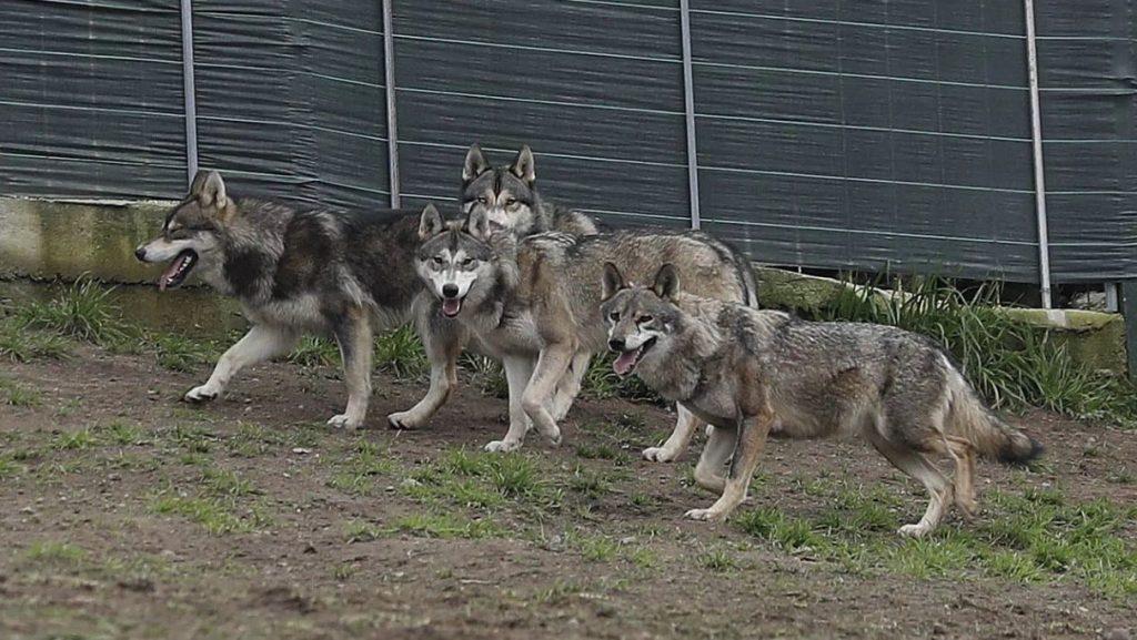 perra loba ibérica cachorros híbridos
