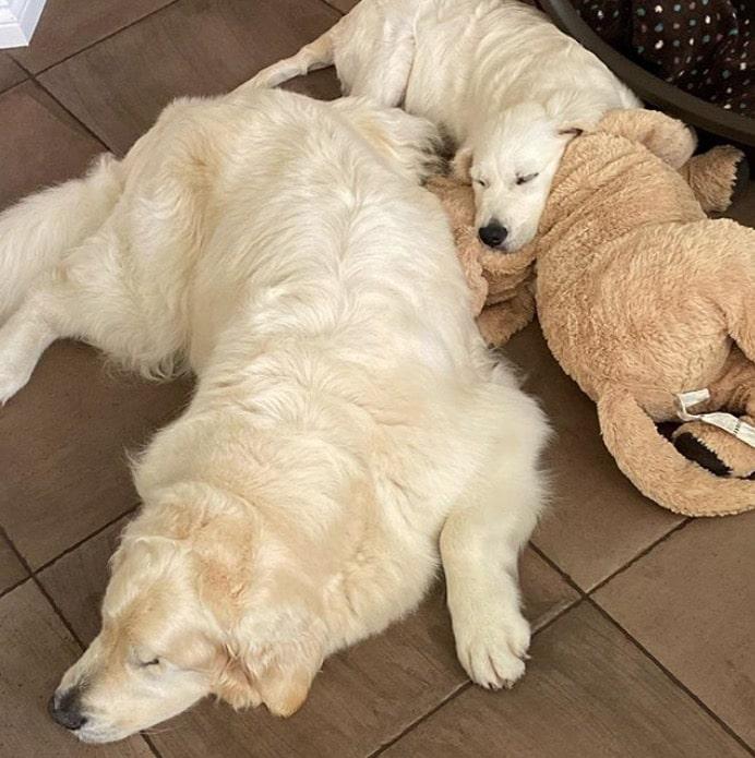 perrito pierde vista dueña adopta cachorro guía