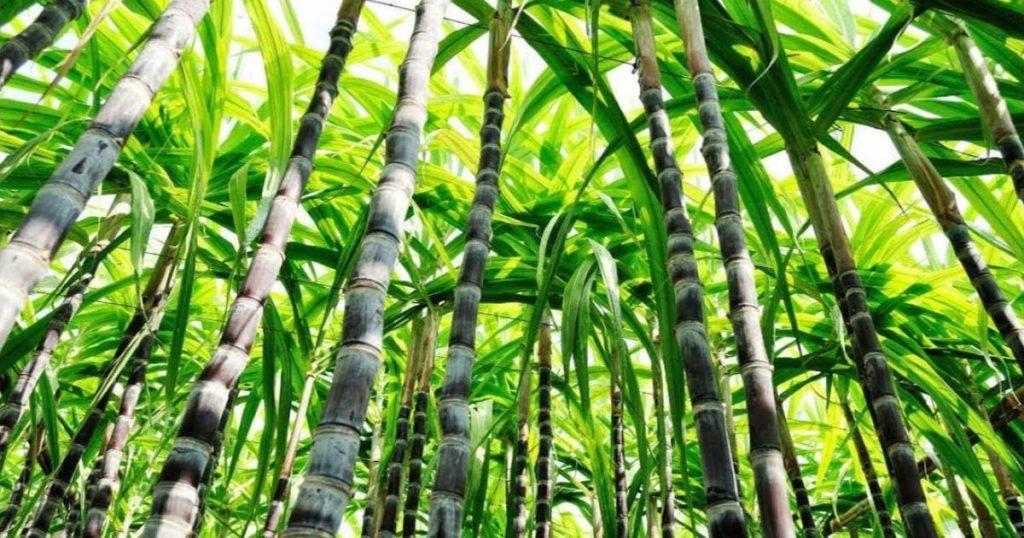 Azúcar-de-caña-México-origen-beneficios-3