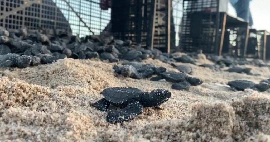 Por-pandemia-nacen-miles-de-tortugas-en-Sonora
