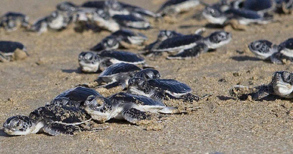 Por-pandemia-nacen-miles-de-tortugas-en-Sonora-3