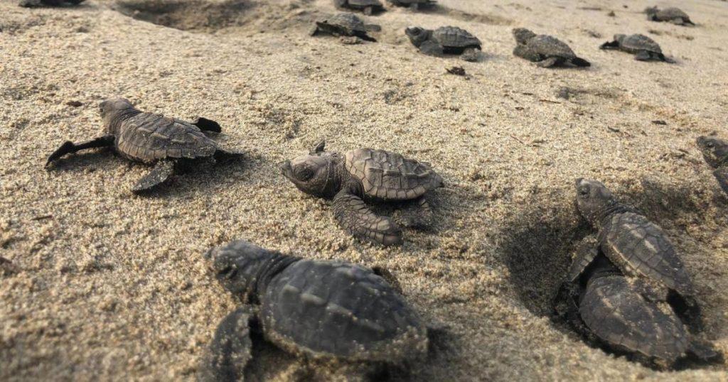 Por-pandemia-nacen-miles-de-tortugas-en-Sonora-4