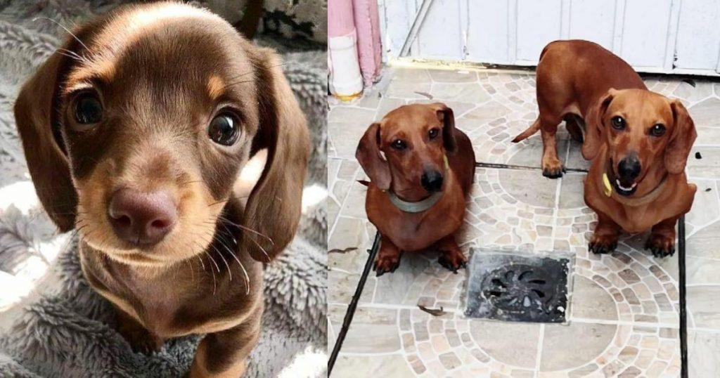 Robaron-alimento-La-Casa-del-perro-salchicha-2