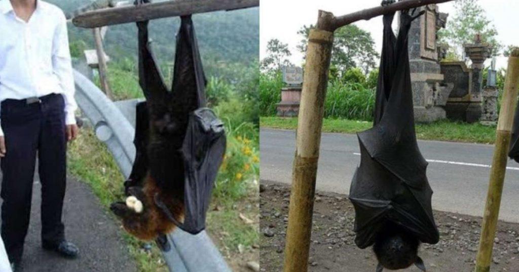 Zorro-volador-Filipinas-murciélago-gigante