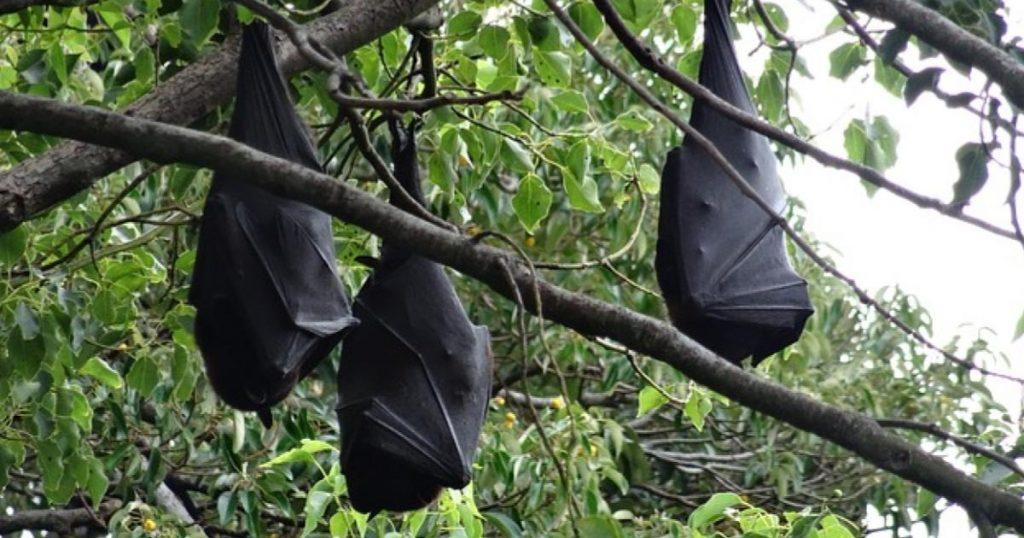 Zorro-volador-Filipinas-murciélago-gigante-2