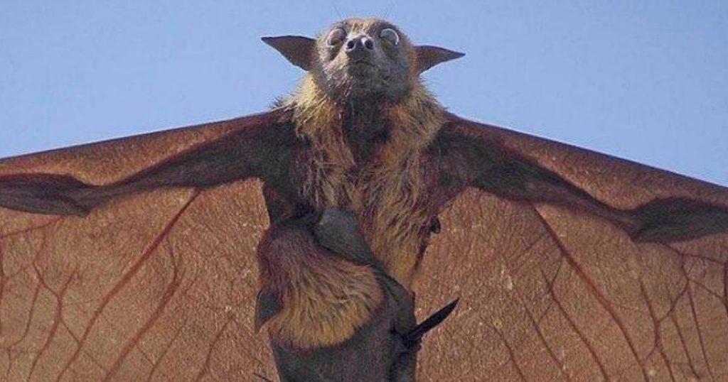Zorro-volador-Filipinas-murciélago-gigante-4