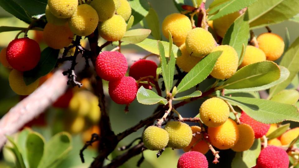 Arbol-de-lichi-diferencias-frutas-tropicales