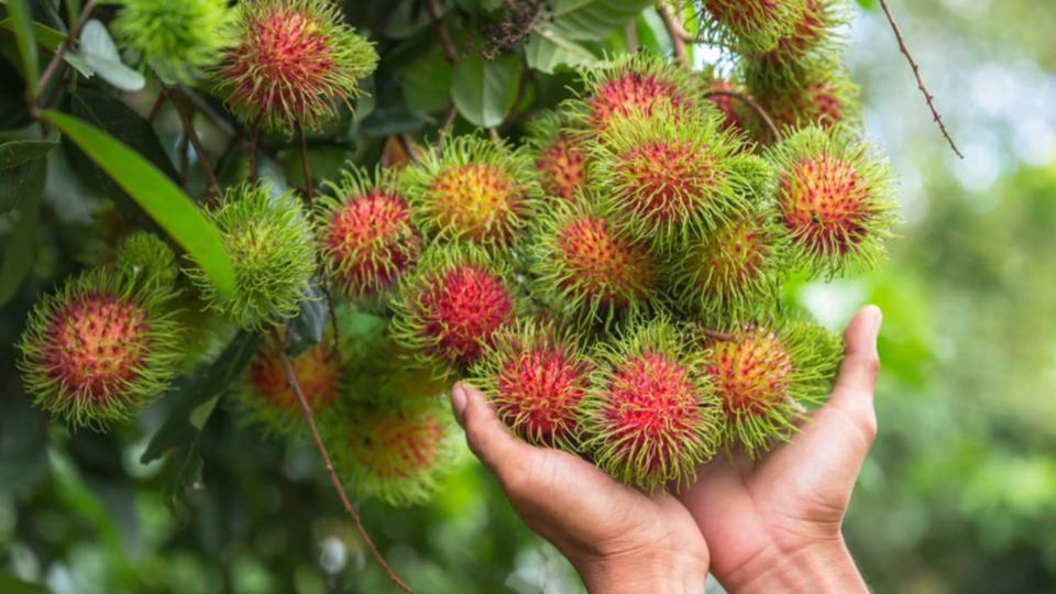 Árbol-rambután-diferencias-frutas-tropicales