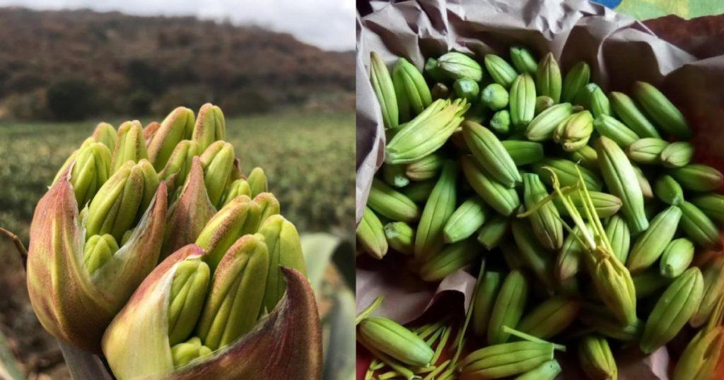 Gualumbos-Flor-de-Maguey-3