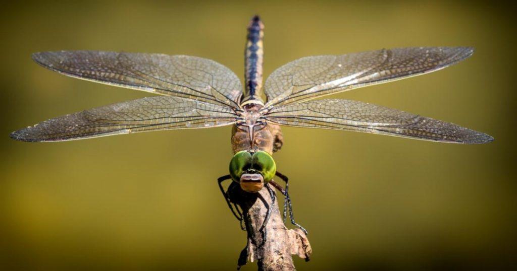 Insectos-ricos-libélulas