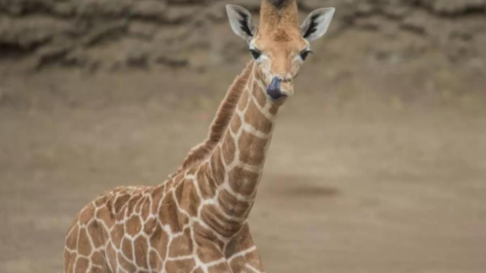 Jirafa-bebé-Zoológico-de-Chapultepec-2