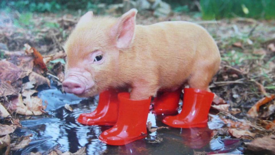 Mini-Pigs-Curiosidades-adorables-mascotas-5