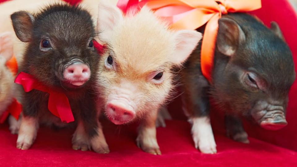 Mini-Pigs-Curiosidades-adorables-mascotas