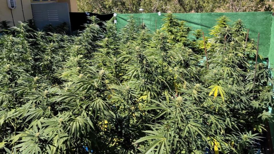 Uso-lúdico-marihuana-México-2