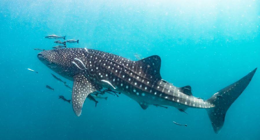 Dónde nadar con tiburón ballena en México