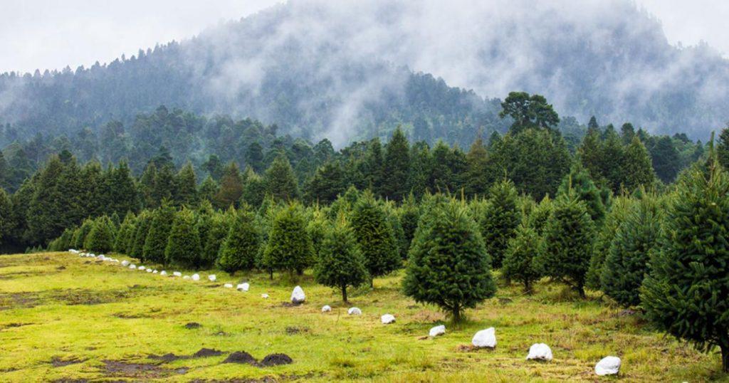 Bosque-Arboles-de-Navidad