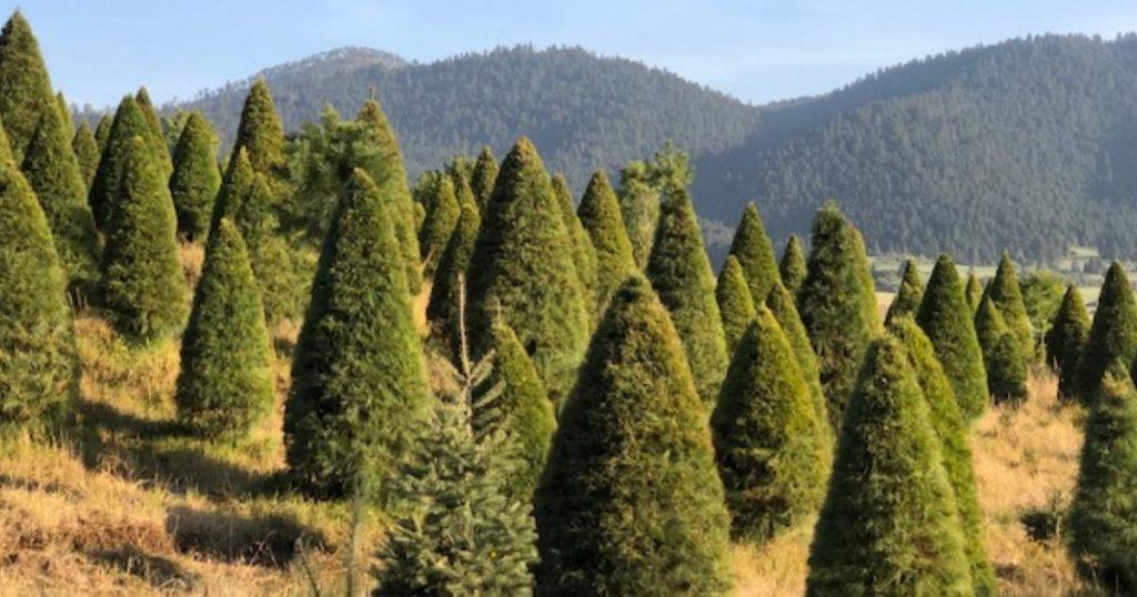 Mitos-y-falsedades-árboles-de-Navidad-3
