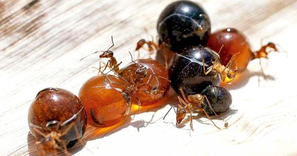 Hormigas-mexicanas-que-producen-miel