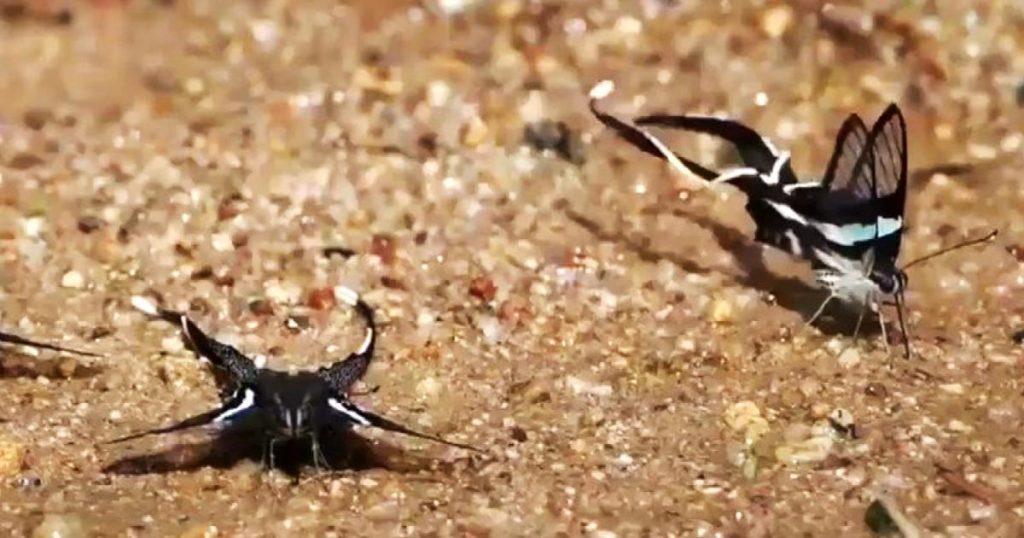 Mariposa-Cola-de-Dragon-Verde-4