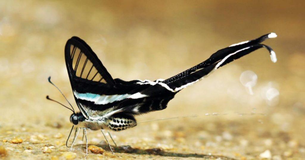 Mariposa-Cola-de-Dragon-Verde-Caracteristicas