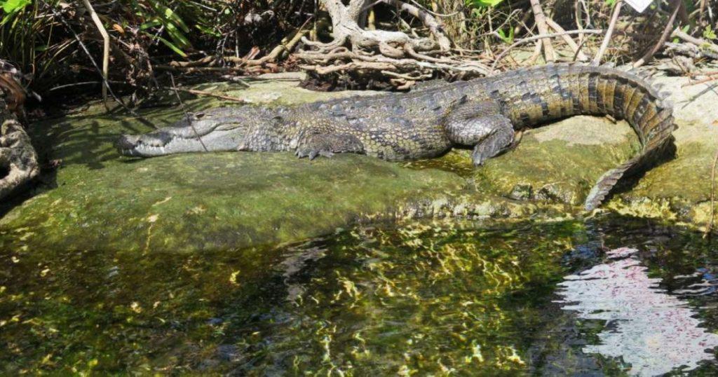 Panchito-cocodrilo-viral-TikTok-Tulum-turistas