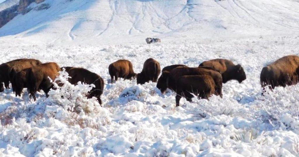 Supesta-caza-bisontes-Coahuila-es-falsa