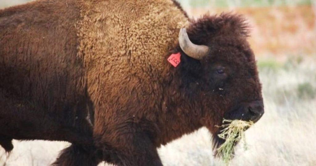 Supesta-caza-bisontes-Coahuila-es-falsa-4