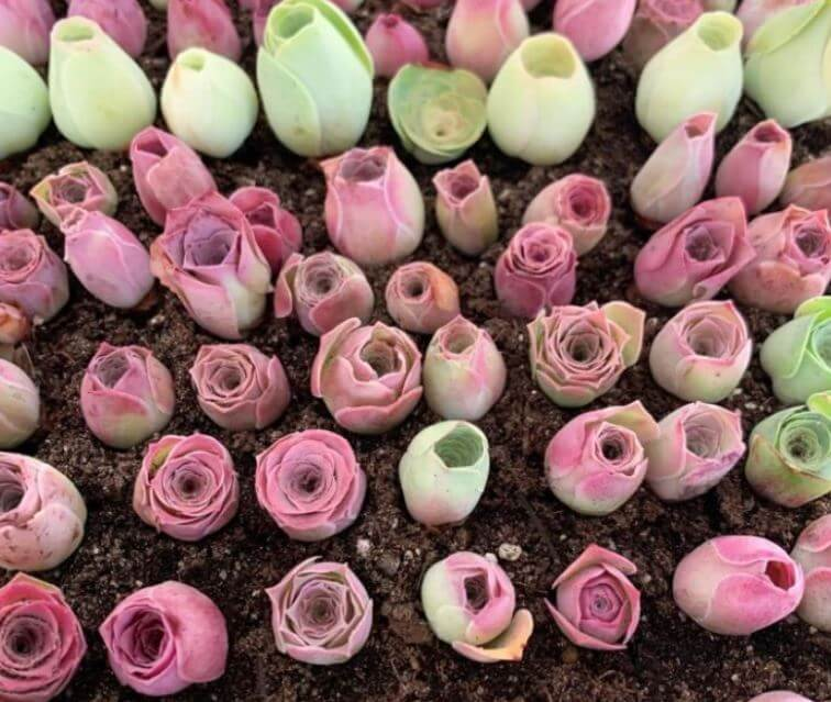 Suculentas en forma de rosas