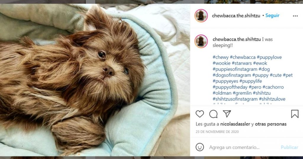 Chewy-perrito-britanico-perdio-pasaporte-en-Mexico