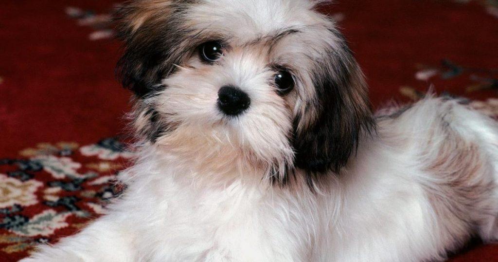 Mejores-razas-perros-poco-espacio-Shi-Tzu
