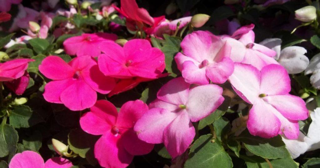 Plantas-florecen-todo-el-ano-Alegria-Impatiens-walleriana