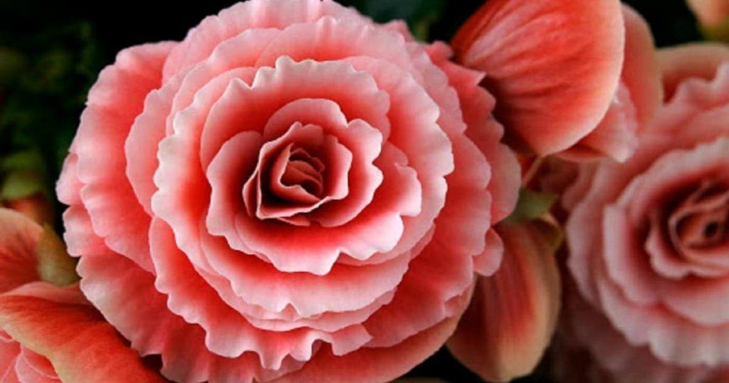 Plantas-florecen-todo-el-ano-Begonia-Begonia-elatior