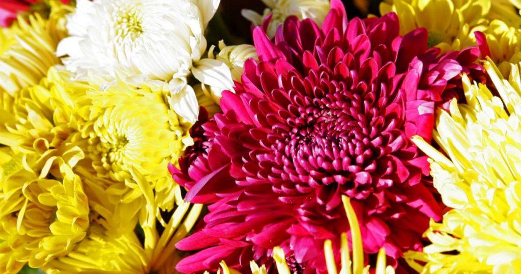 Plantas-florecen-todo-el-ano-Crisantemos