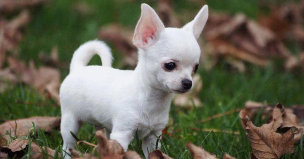 Razas-perros-poco-espacio-Chihuahua