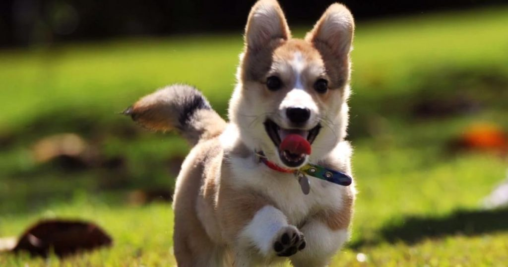 Razas-perros-poco-espacio-Corgi