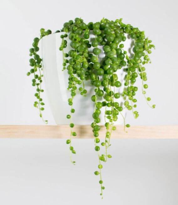 Cuáles son las plantas colgantes más bonitas para tu hogar