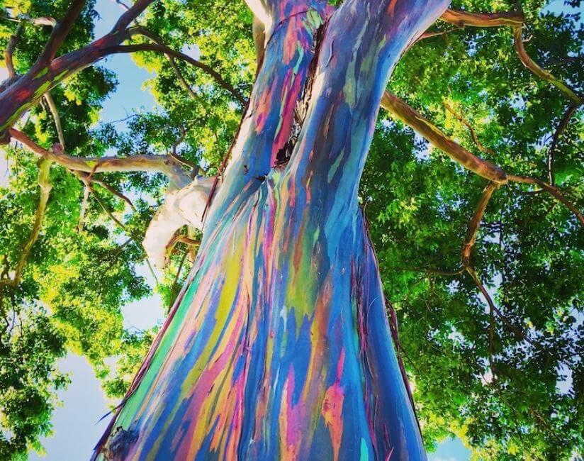 Eucalipto arcoíris: el árbol más alegre de todos